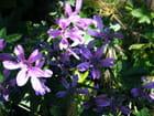 Fleur violettes