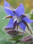 Fleure de Bourrache 1