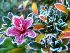 Fleuron d'azalée en décembre