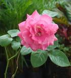 Le Roses de mon pays