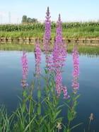 Fleurs au bord du canal