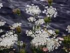 Fleurs blanches & eaux grises