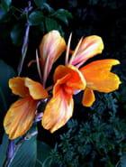 Fleurs cannas