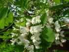 Fleurs d acacias