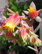 Fleurs d'écheveria