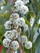 Fleurs d'eucalyptus