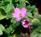 Fleurs d'Herbe à Robert