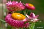 Fleurs d'Immortelle