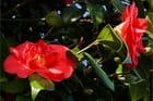 Fleurs de Camélia