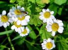 Fleurs de camomille,
