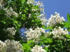 Fleurs de catalpa
