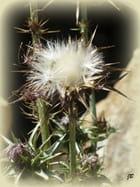Fleurs de chardons...