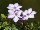 Fleurs de clématite