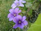 fleurs de clématites bleues