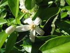Fleurs de clémentine