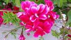 fleurs de El Maamoura rouge ou rose?