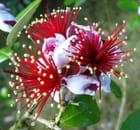 Fleurs de fedjoa