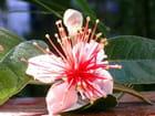 Fleurs de féijoa