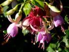 Fleurs de fuchsias