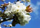 Fleurs de griottier sous un ciel bleu