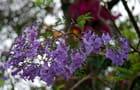 fleurs de jacaranda