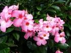Fleurs de mandevilla
