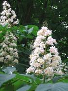 Fleurs de  marronniers