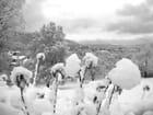 Fleurs de neige norvégiennes