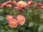 Fleurs de Nouvelle -Zélande