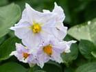 Fleurs de pommes de terre