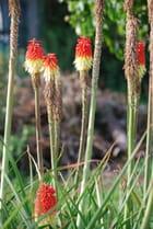 Fleurs de tritoma ou faux aloès