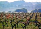 Fleurs de vigne