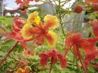 Fleurs des antilles