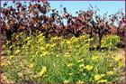 Fleurs des champs et des.... vignes