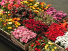 Fleurs des hortillons