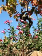 Fleurs.... des vignes !