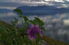 Fleurs du Léman