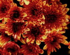 fleurs flammes
