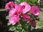 Fleurs Hibiscus moscheutos