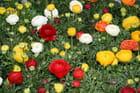 Fleurs néerlandaises !