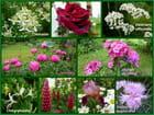 Fleurs parfumées de mon jardin (suite)