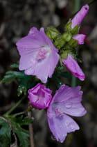 fleurs sauvages des montagnes...