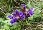 Fleurs sauvages inconnues du Pont d'Espagne