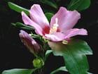 Fleursalthéa