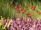 Floraison de plantes carnivores