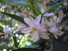 Floraison des faux orangers