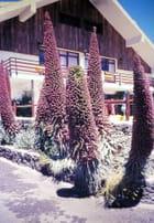 Flore d'altitude à Ténérife