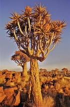 Forêt de Kokerbooms (Namibie)