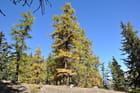 Forêt de mélèzes