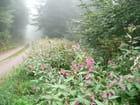 forêt fleurie Wisembach Vosges